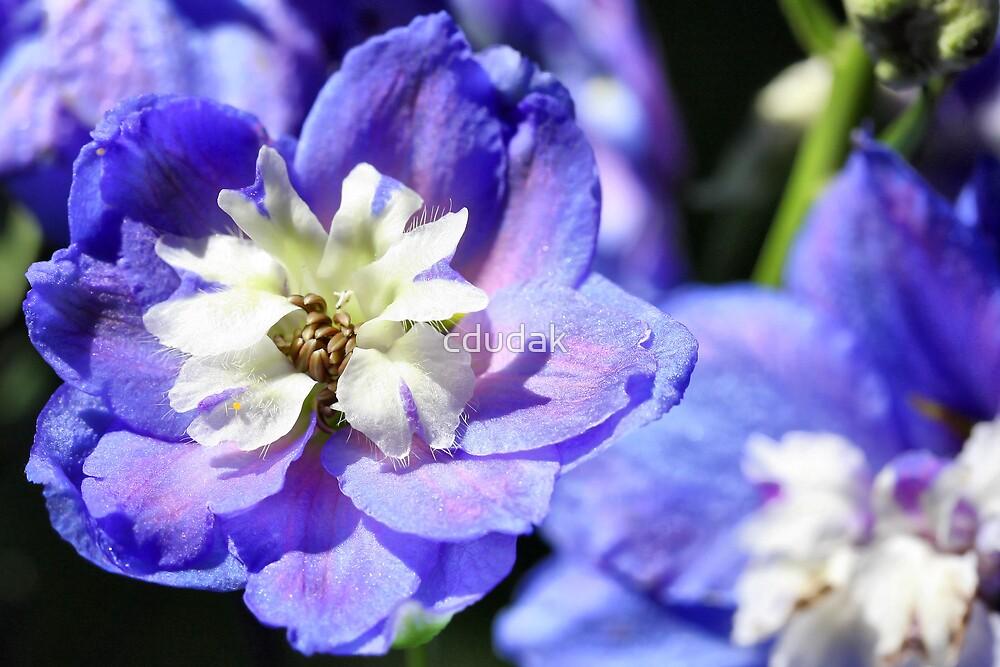 AURORA  BLUE DELPHINIUM by cdudak