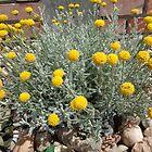 Helichrysum arenarium-Smilje by Ana Belaj