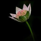 Astrantia by Jane-in-Colour