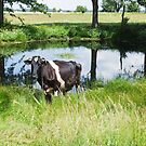 A Holstein Friesian cow grazing on a green pasture by Lukasz Szczepanski