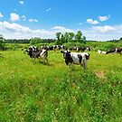 A herd of Holstein Friesian cows grazing on a pasture under blue cloudy sky by Lukasz Szczepanski