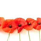 Pretty Red Poppies in a Row on White Background by Shelly Still