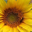 Sonnenblume mit Biene von LarryWintersohn