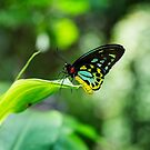 Cairns Wing Butterfly by Bevlea Ross
