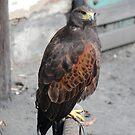 Female Harris Hawk by dougie1