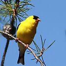 American Goldfinch by whisperjo