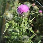 Common Thistle - Cirium vulgare - Tintagel by kalaryder
