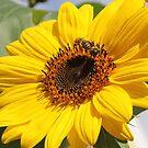 Leuchtende Sonnenblume mit Bienen von LarryWintersohn