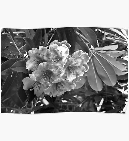 B & W Rhododendrons Poster