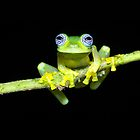 Sachatamia ilex - Ghost Glass Frog by blendenwahl
