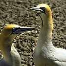 A pair of Cape Gannets - South Africa by Bev Pascoe