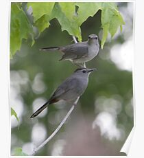 A Pair Of Gray Catbirds. Poster