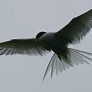 Flying Artic Tern  by David Bass