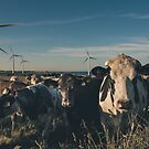 Carnsore Point Wind Farm Cows by Shay Murphy