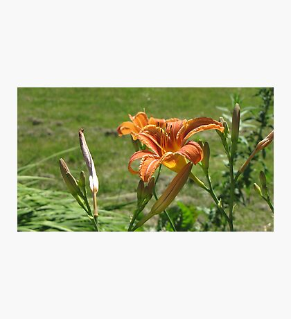 lily 4 Photographic Print