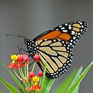 Monarch by Anthony Goldman