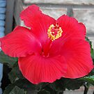 Red Hibiscus by Ruth Palmer