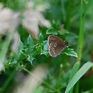Ringlet Butterfly by dougie1