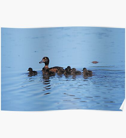 Mrs Tufted Duck and Family! Poster