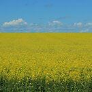 Yellow Field of Canola by rhamm