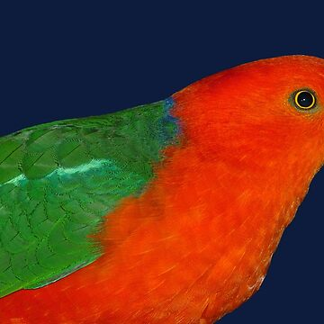 Australian King-Parrot by quentinjlang
