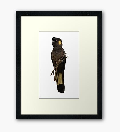 Yellow-tailed Black Cockatoo Framed Print