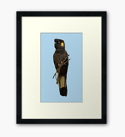 Yellow-tailed Black Cockatoo 2 Framed Print