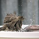 young female house finch splashing in the bird bath by memaggie