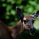 Voice of a Deer, a Doe by David Friederich