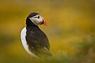 Puffin in a Haze by David Lewins