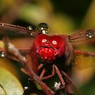 Happy little dragonfly covered in water droplets no.2 by Rick Fin