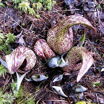 Eastern Skunk Cabbage (symplocarpus foetidus) by jgevans
