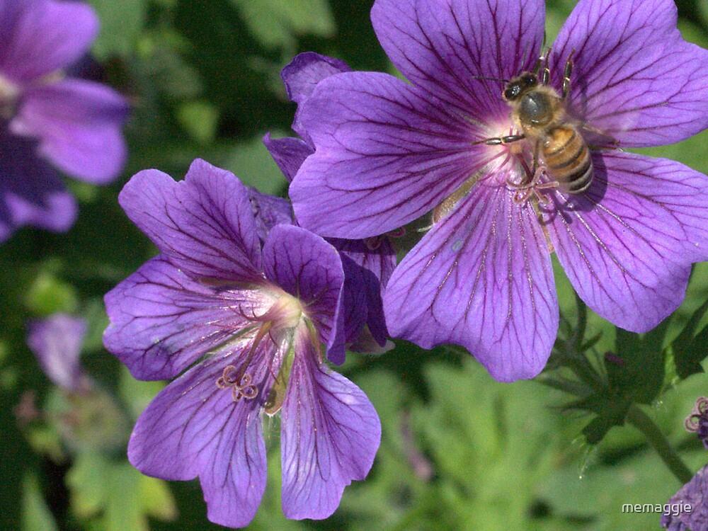bumblebee on the hardy germanium flower by memaggie