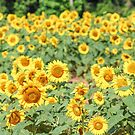 Bright Yellow Sunflower Fields by Southern  Departure