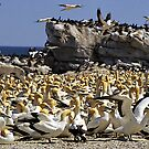 Cape Gannet Rookery - Lamberts Bay - South Africa by Bev Pascoe