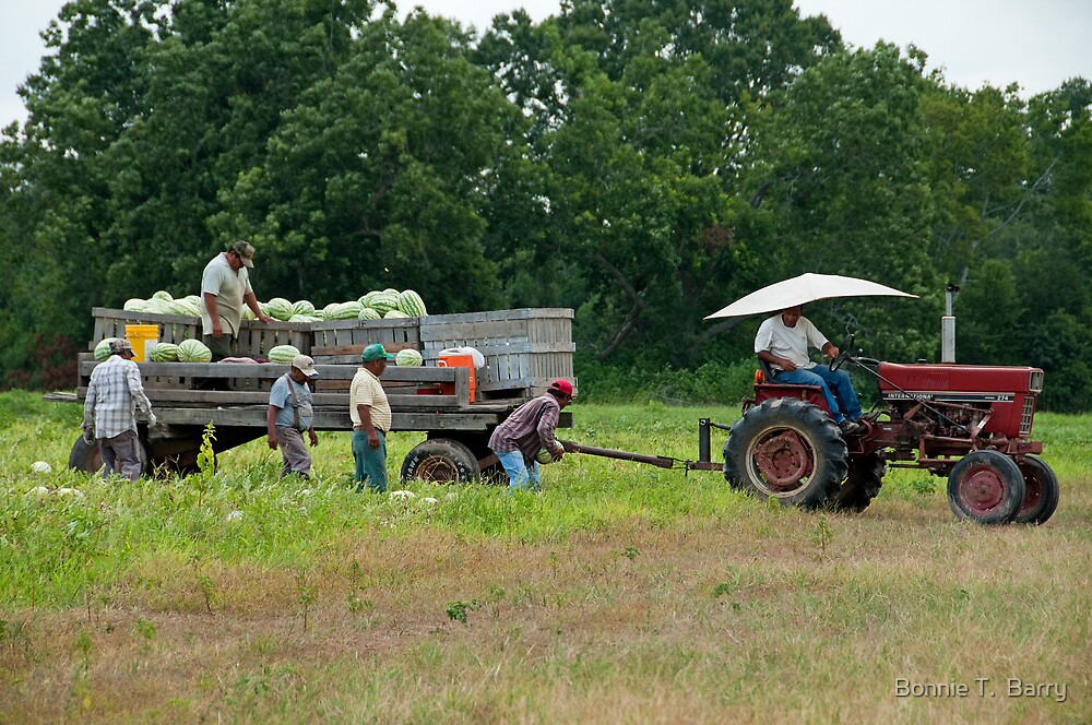 Harvesting Watermelons by Bonnie T.  Barry