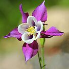 Columbine Beauty by vette
