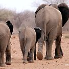 THE 2016 DROUGHT AND THE AFRICAN ELEPHANT - DESPERATELY SEEKING FOOD by Magriet Meintjes
