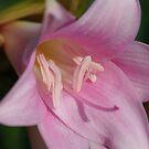 Belladonna Lilies  by BekB