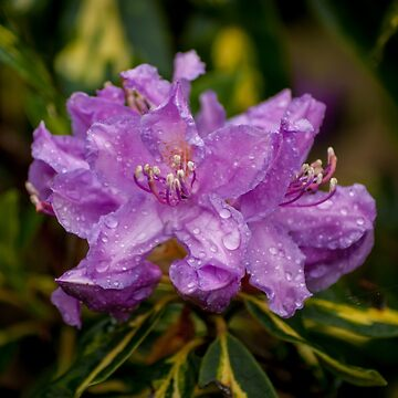 Purple Flowers with Raindrops by shane22