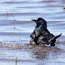 Splashing Grackle by Alyce Taylor