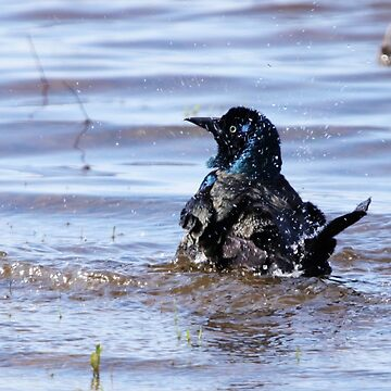 Splashing Grackle by alycetaylor