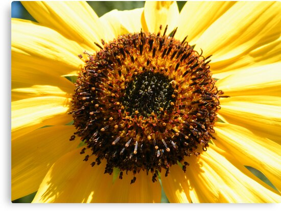 Sunflower Macro by Leslie Robinson