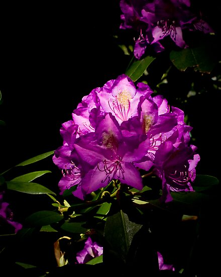 Rhododendron Portrait #2 by Gregory Colvin