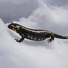 Fire salamander Salamandra salamandra in the snow by Dam - www.seaphotoart.com