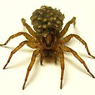 Wolf Spider with hatchlings by main1