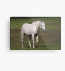 Connemara pony Metal Print