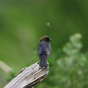 Brown Headed Cowbird by alycetaylor