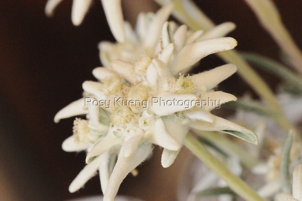 Edelweiss by Rosy Kueng Photography