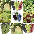 Just Grapes by Linda Miller Gesualdo